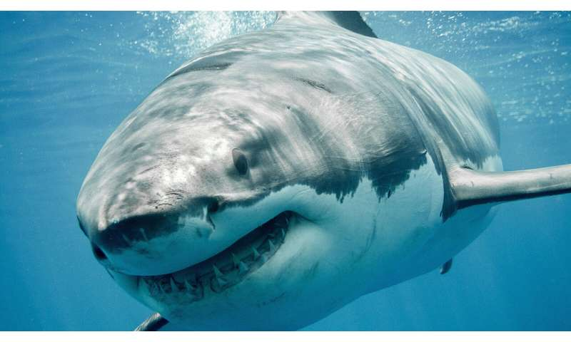 Shark researcher documents surge of great whites off Cape Cod