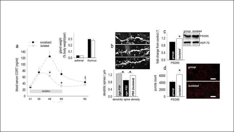 Social isolation derails brain development in mice