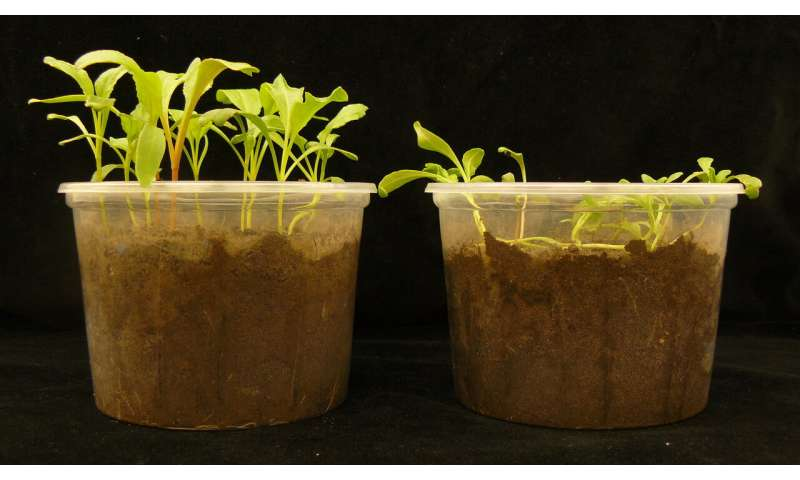 **Soil bacteria found to use several approaches in 'suppressive soils' to protect plants
