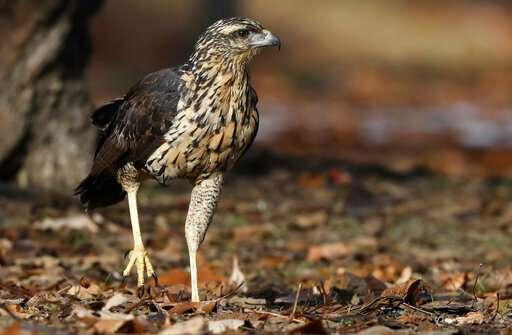 South American hawk in Maine euthanized as condition worsens