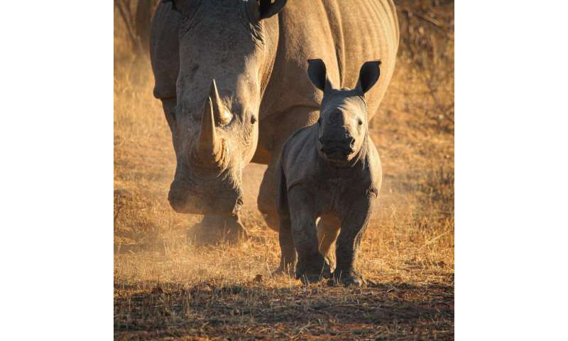 Southern white rhinos are threatened by incest and habitat fragmentation