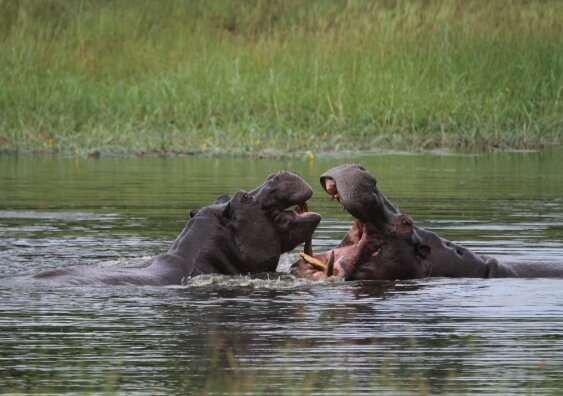 Spying on hippos with drones to help conservation efforts