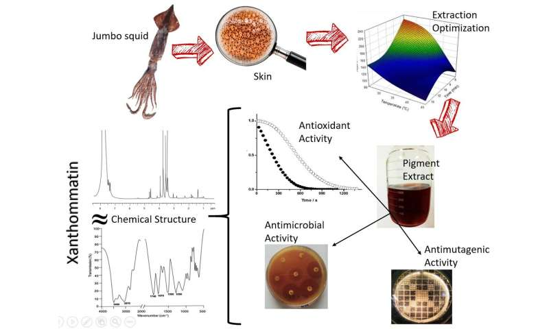 Squid pigments have antimicrobial properties