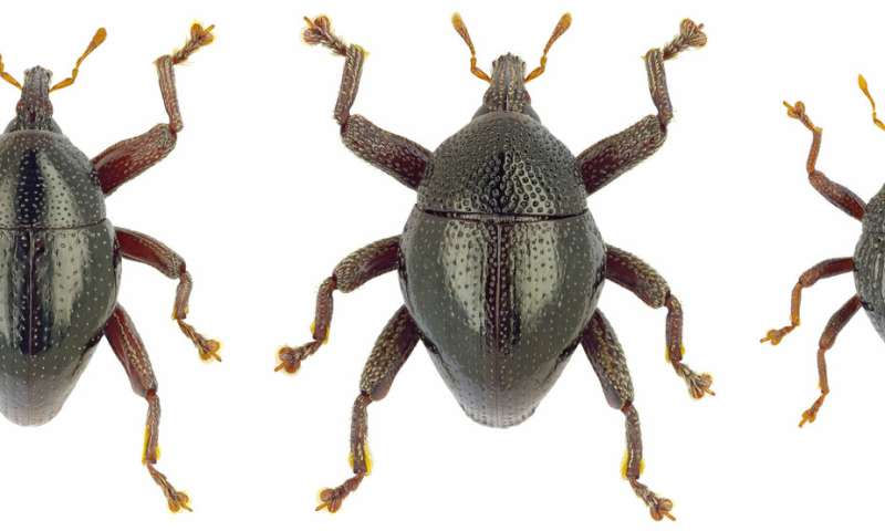 Star Wars and Asterix characters amongst 103 beetles new to science from Sulawesi, Indonesia
