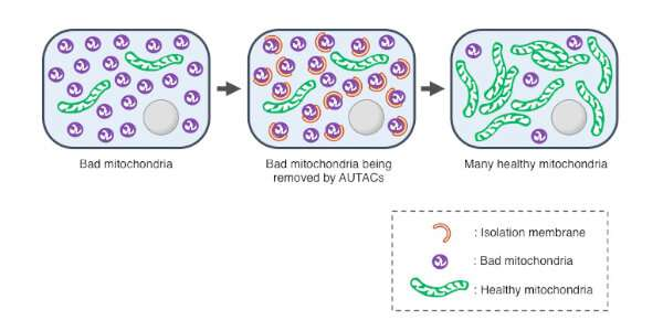 Strategy to help cells get rid of disease-related debris
