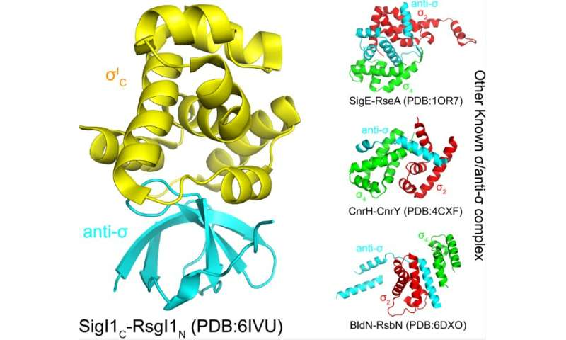 Structural and functional mechanisms of a new class of bacterial sigma/anti-sigma factors revealed