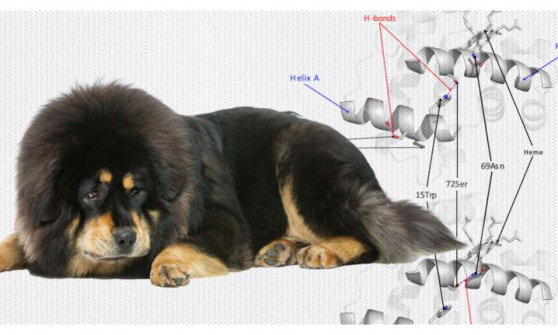 Study details how Tibetan dog got oxygen boost