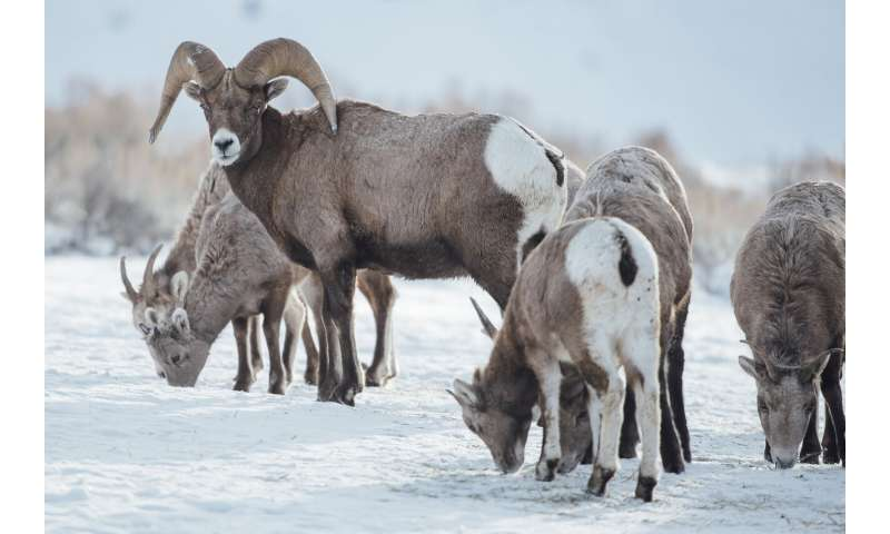 Study finds native bighorn sheep herds retain migratory diversity