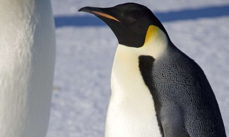 Study recommends special protection of emperor penguins