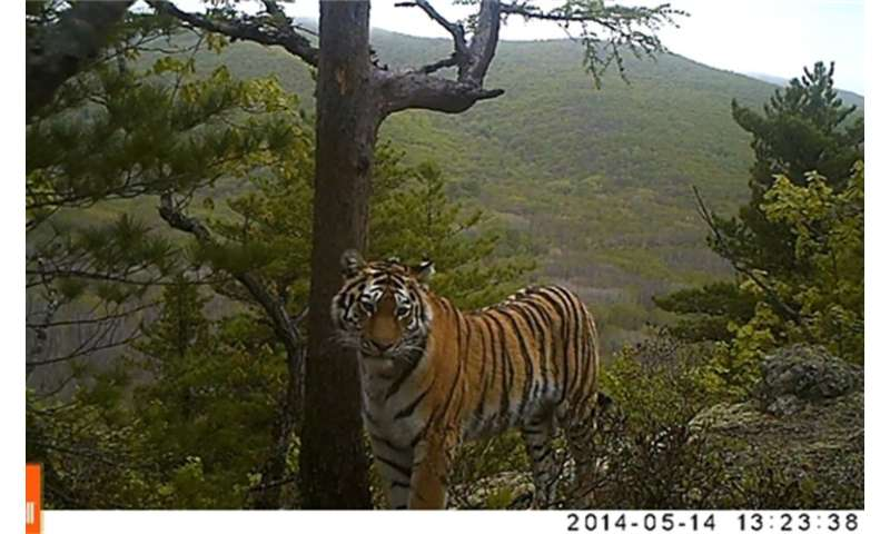 Study: Yes, even wild tigers struggle with work/life balance