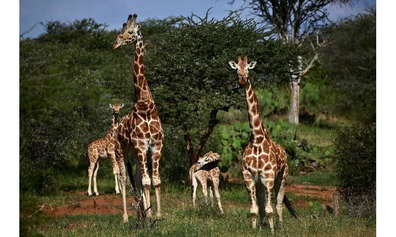 The African giraffe has been affected by habitat loss