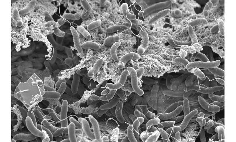 The cholera bacterium can steal up to 150 genes in one go