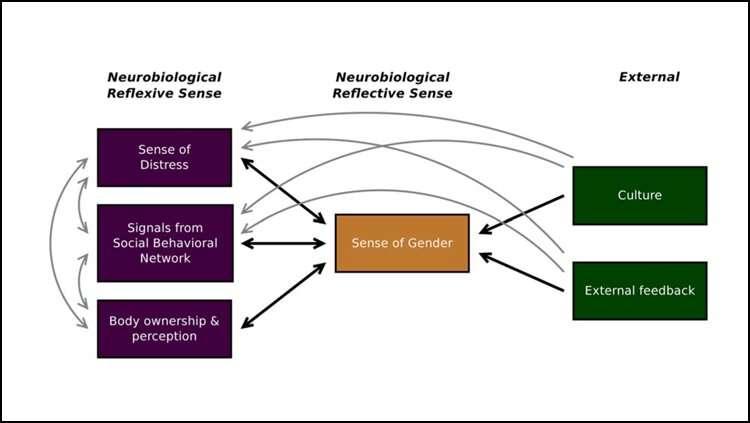 The neurobiological basis of gender dysphoria
