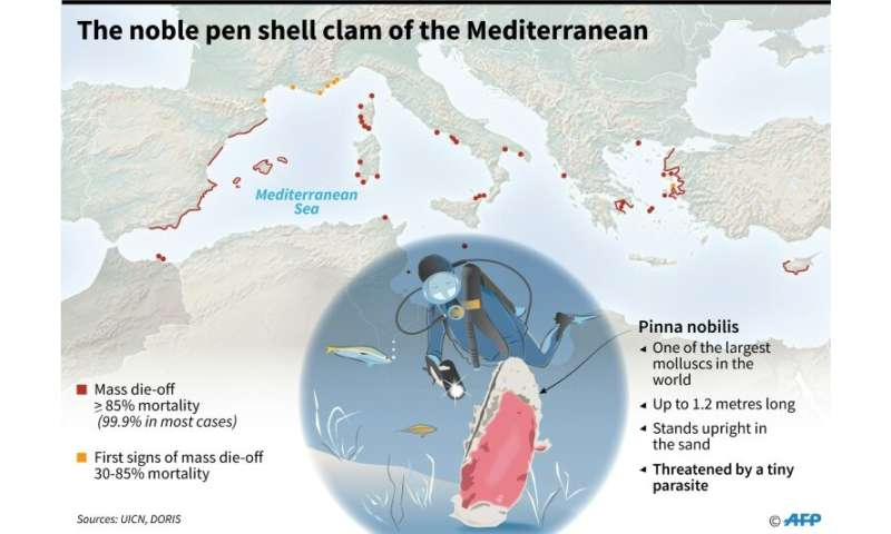 The noble pen shell clam under threat