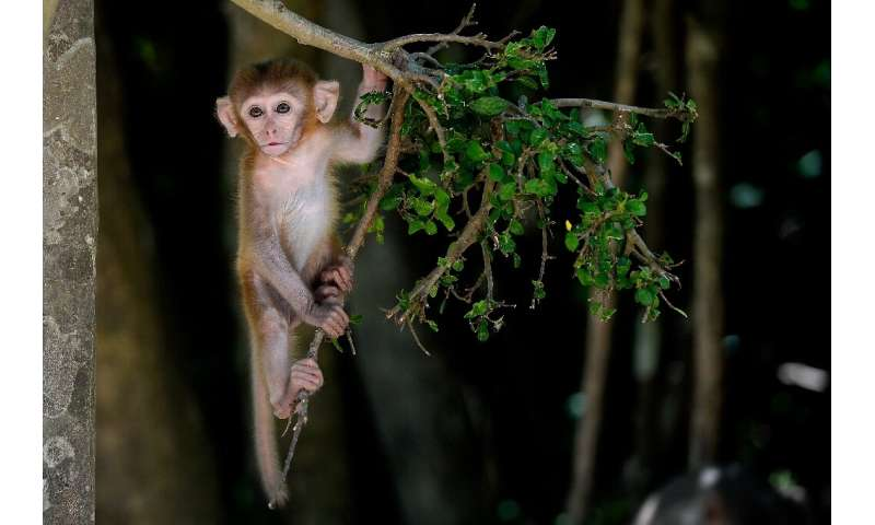 There are about 1,200 macaques at Monkey Island in Nha Trang, central Vietnam, which is decried as cruel by activists
