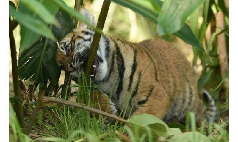 There are as few as 350 Sumatran tigers reminaing in the wild after their natural habitat was devastated by jungle clearing and