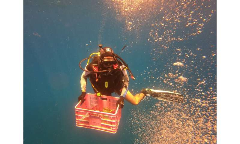 The scuba diving marine ecologists use chisels and hammers to remove the coral from the jetty pilings