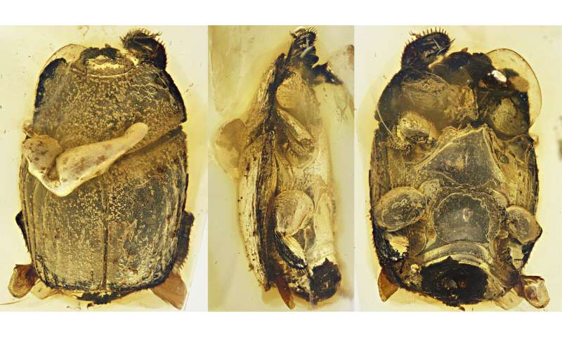 These beetles have successfully freeloaded for 100 million years