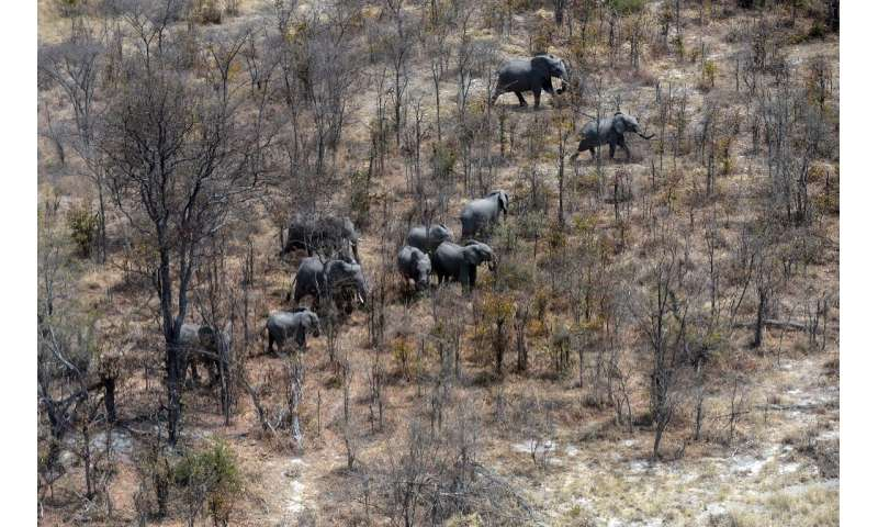This aerial photograph shows elephants roaming in the plains of the Chobe district in the northern part of Botswana where offici