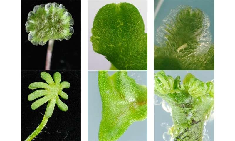 Para crecer o florecer: los genes identificados en los descendientes de plantas terrestres tempranas también se encuentran en cultivos modernos