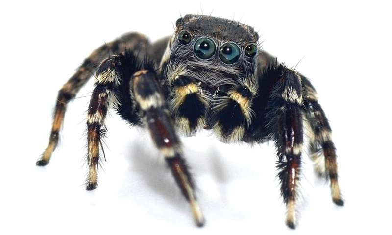 Trendy on eight legs: Jumping spider named after fashion czar Karl Lagerfeld