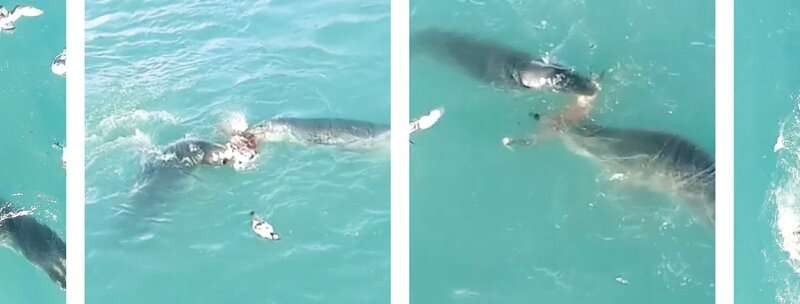 TV crews capture first evidence of leopard seals sharing food