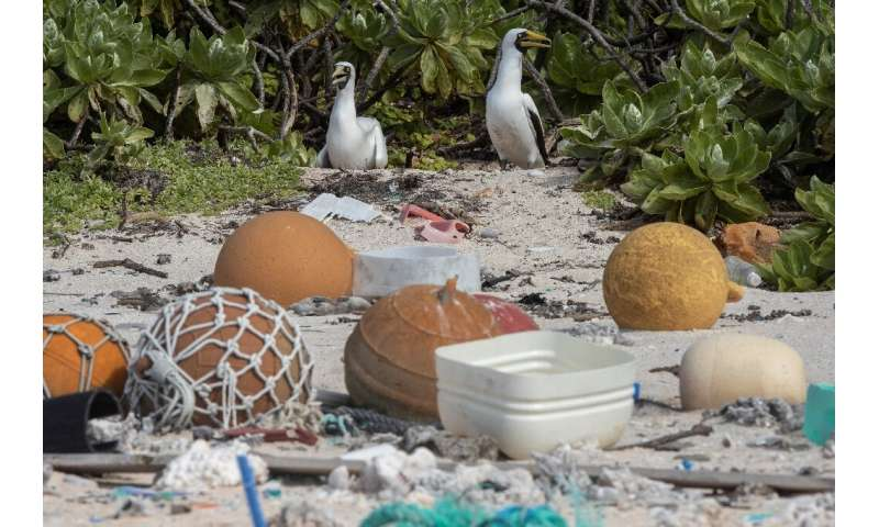 Two masked boobies walk among rubbish at the high-tide mark on Henderson Island