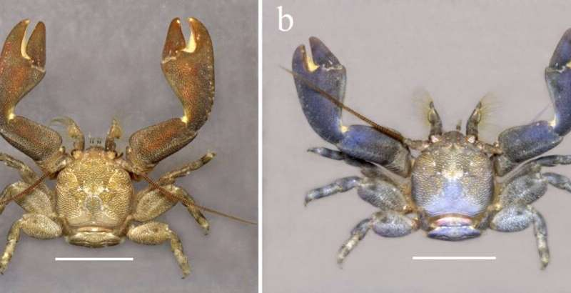 Two new porcelain crab species discovered