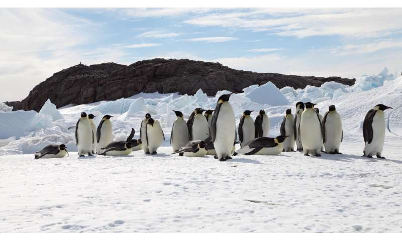Unless warming is slowed, emperor penguins will be marching towards extinction