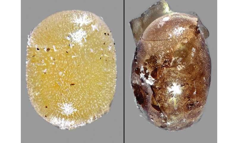 Improbable avispa enemiga de una plaga alienígena grave en América del Norte llamada Idris elba
