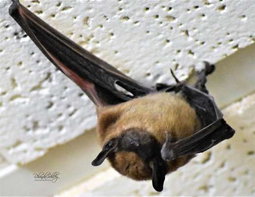 Veterinarian says bats can be problem for pets, humans this time of year
