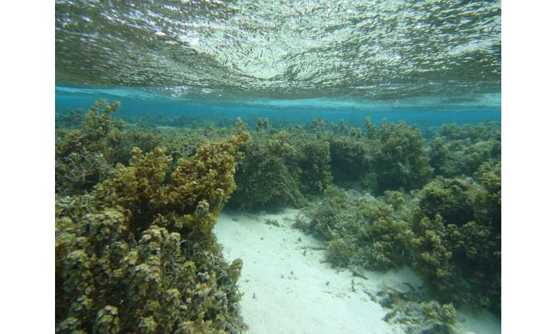 Warming impedes a coral defense, but hungry fish enhance it