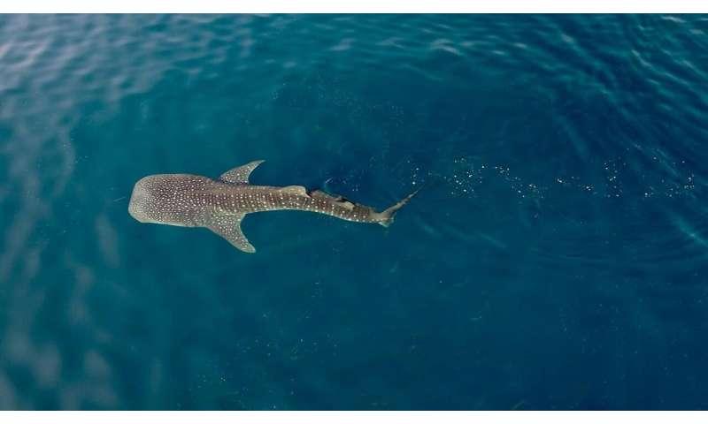 Whale shark hot spot offers new conservation insights