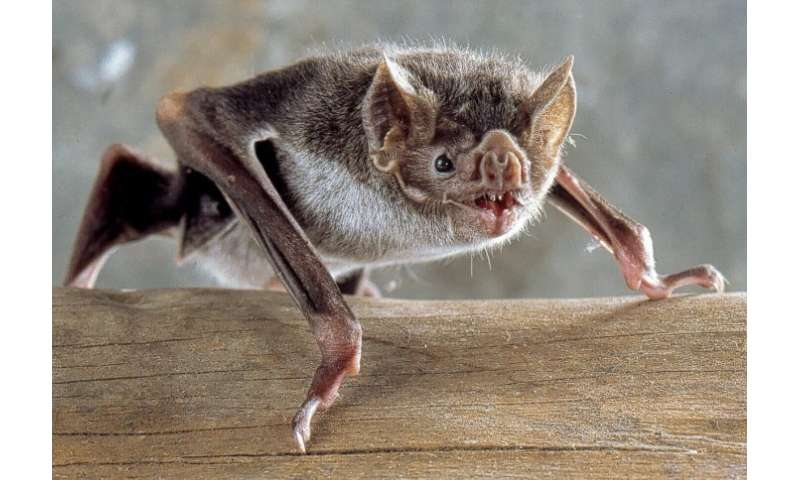 What a group of bizarre-looking bats can tell us about the evolution of mammals