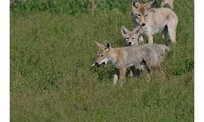 When coyote parents get used to humans, their offspring become bolder, too