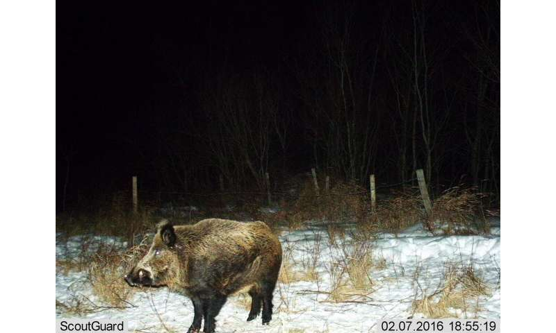 Wild pigs invade Canadian provinces—an emerging crisis for