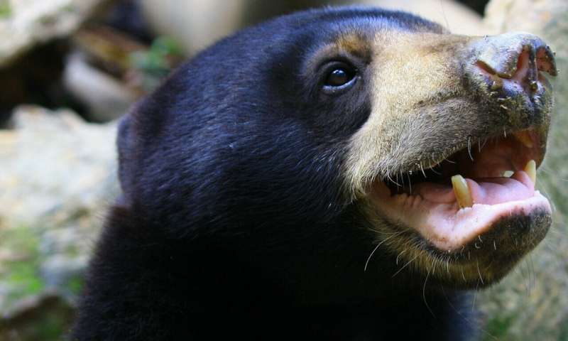 World's smallest bears' facial expressions throw doubt on human superiority