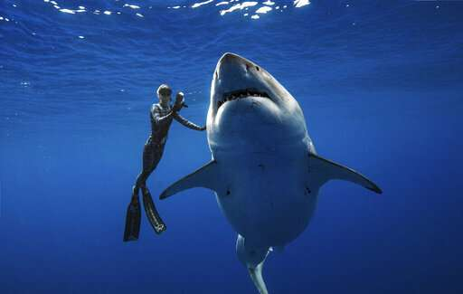 Researchers come face to face with huge great white shark