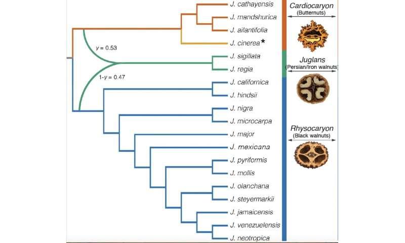 Scientists crack origin of the Persian walnut