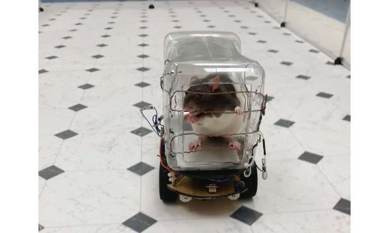 Scientists have reported successfuly training rodents to drive tiny cars in exchange for tasty bits of Froot Loops cereal, and f