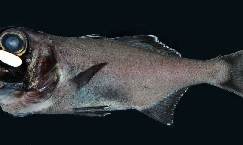 Scientists make first observation of fish schooling using bioluminescent flashes
