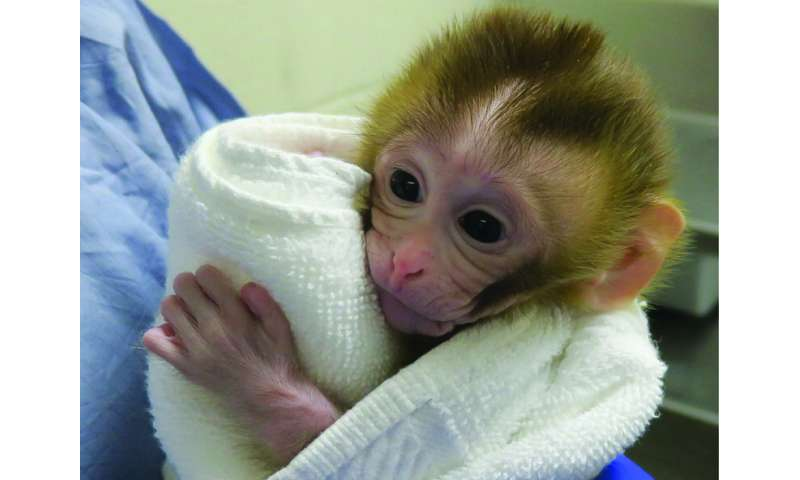 Researchers restore fertility in non-human primate model of childhood cancer survivorship