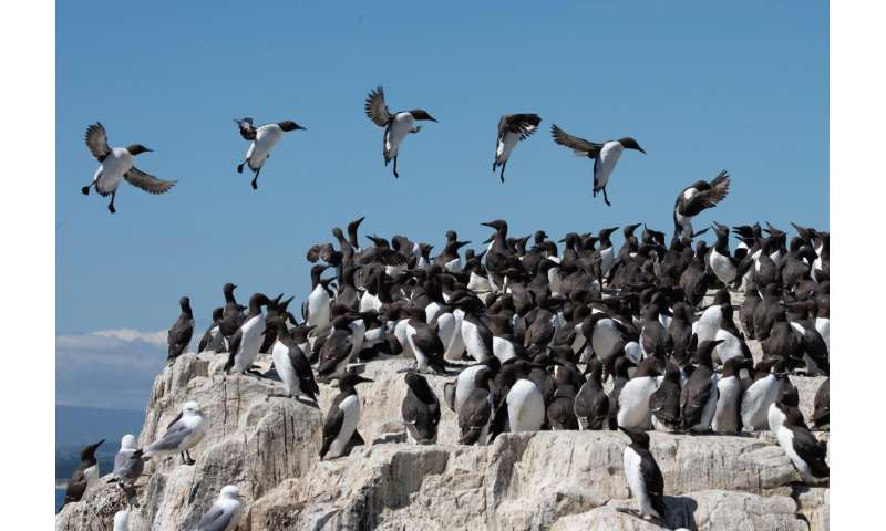 Research shows wind can prevent seabirds accessing their most important habitat