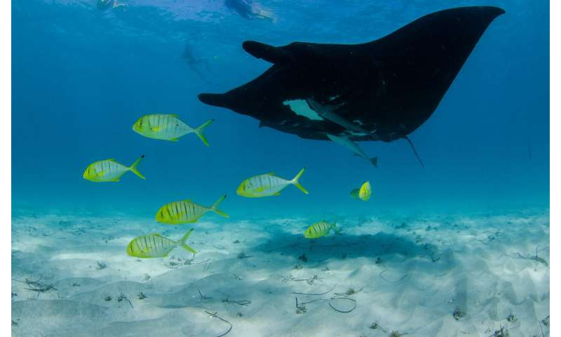 Scientists study manta rays' impressive ability to heal