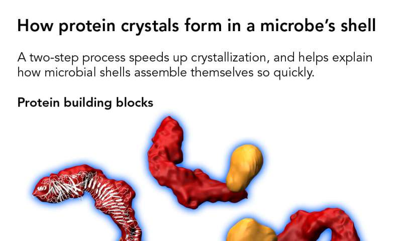 Scientists discover how proteins form crystals that tile a microbe's shell