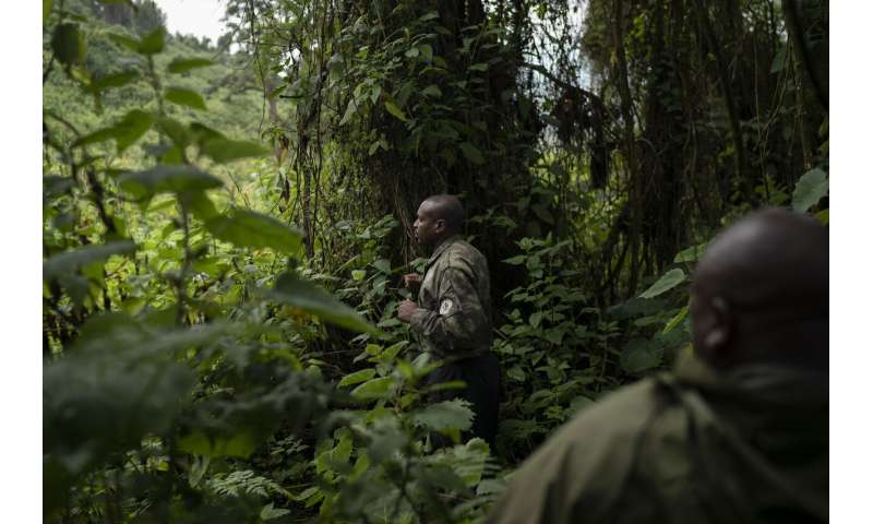 How do you save endangered gorillas? With lots of human help