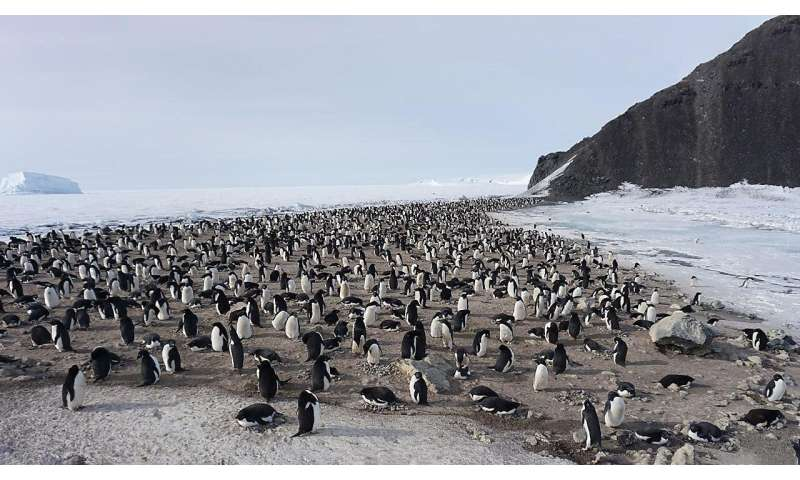 Scientists complete first assessment of blood abnormalities in Antarctic penguin colony