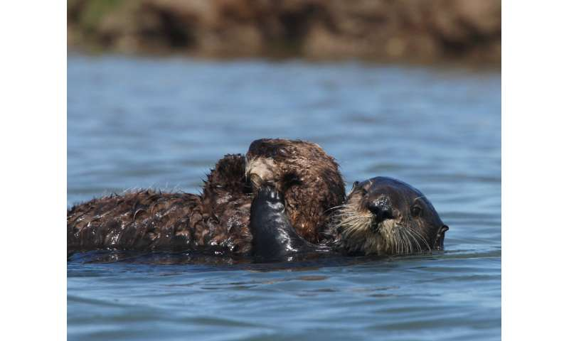 Study confirms Monterey Bay Aquarium surrogate-reared sea otters helped restore threatened population