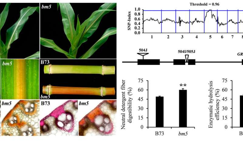 Scientists identify a novel target for corn straw utilization