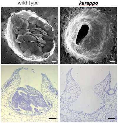 Researchers discover the 'KARAPPO' gene and illuminate vegetative reproduction